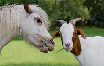 Goat and Horse Story - Living Without Recognition Story