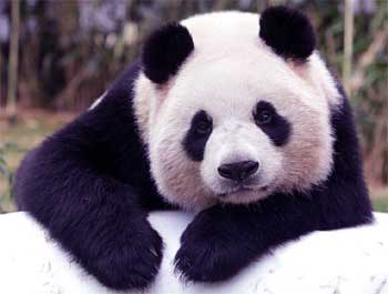 23 Interesting Facts about Panda